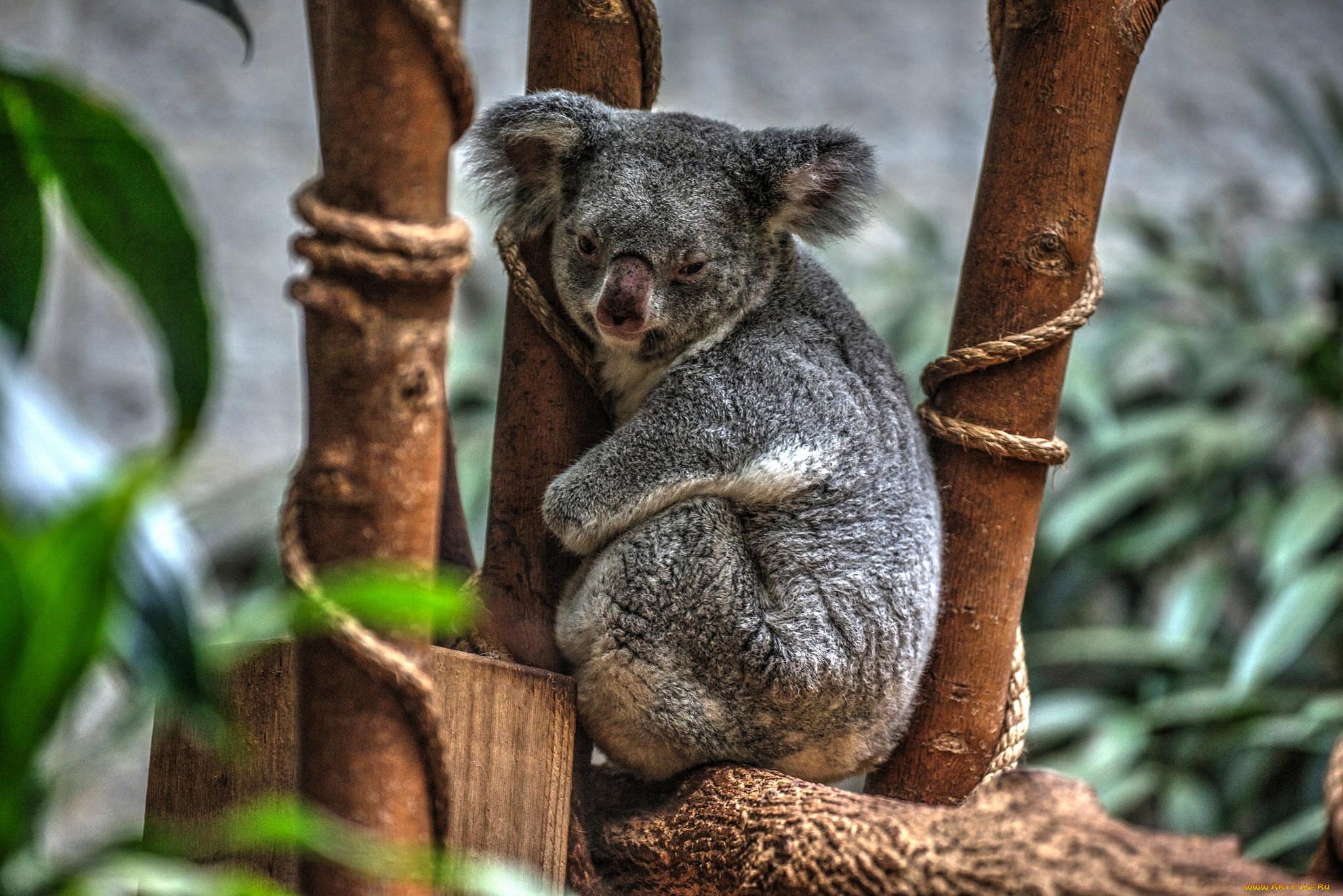 соком коала животное картинки проведения